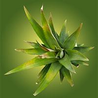 Ананасовые листья